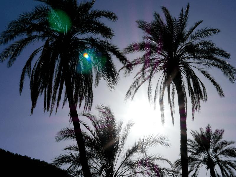 morocco palm trees